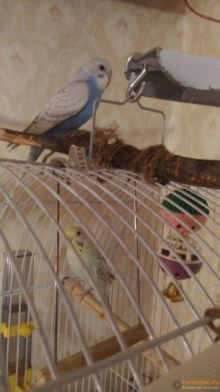 Птенцы волнистого попугая. Омск. - P_20180604_212131.jpg