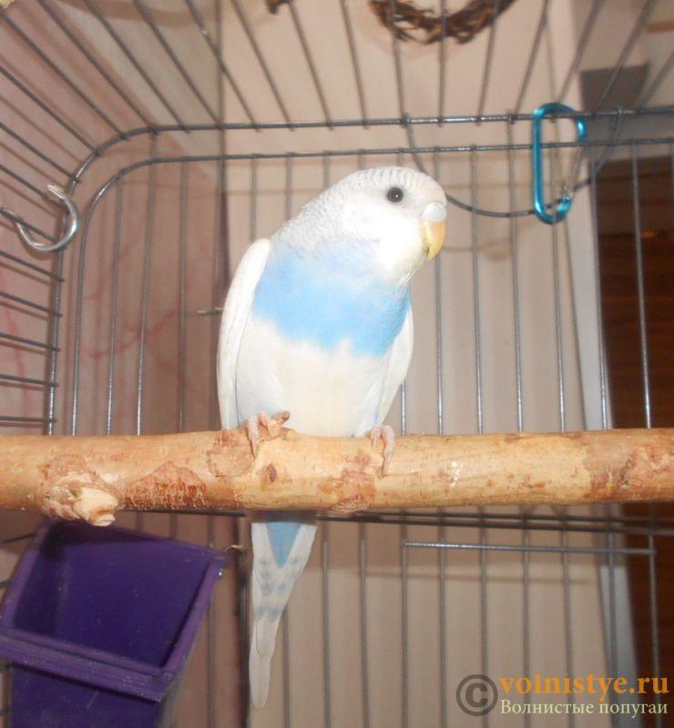Птенцы волнистого попугая. Омск. - DSCN3033.JPG