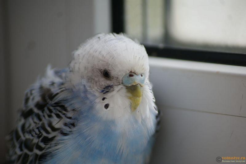 Определение пола и возраста попугаев № 11 - _DSC5377.JPG