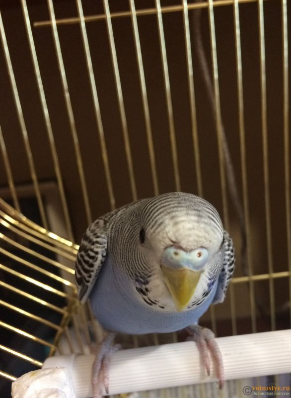 Определение пола и возраста попугаев № 11 - 55B313C9-D108-41D9-A32D-3EF19064F6D9.jpeg