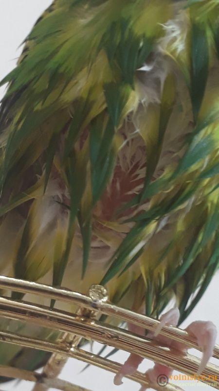 Помогите определить здоров ли попугай? - Screenshot_20180620-170601_Gallery.jpg