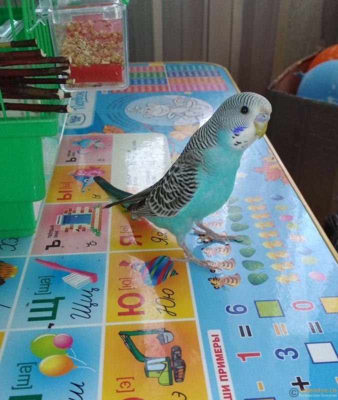 Обучение разговору волнистых попугаев - IMG_20180514_182920.jpg