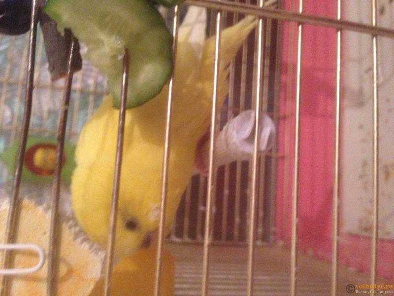 У попугая опухла лапка, красно -синего цвкта - IMG_0823.JPG