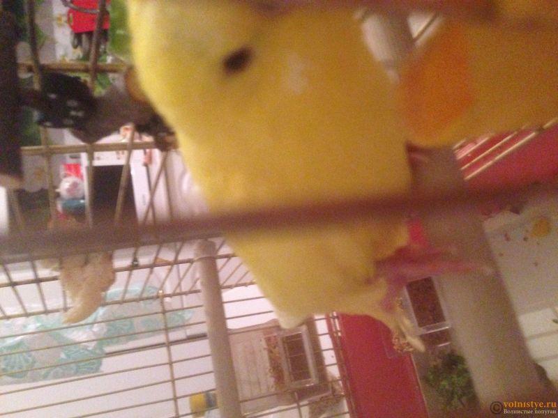 У попугая опухла лапка, красно -синего цвкта - IMG_0824.JPG