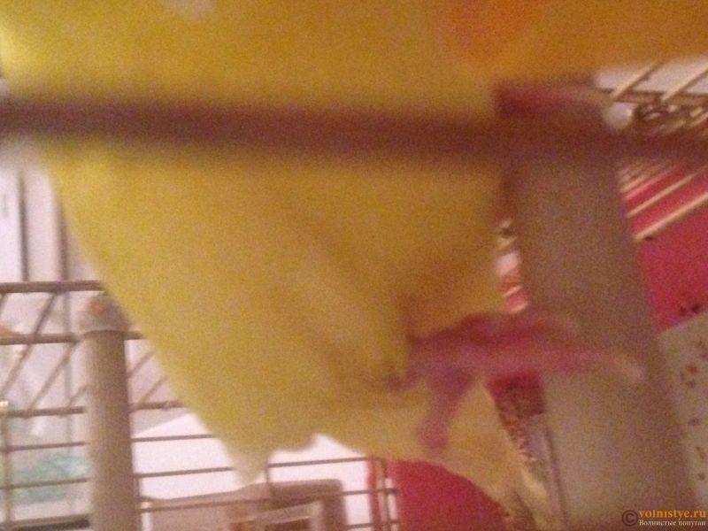 У попугая опухла лапка, красно -синего цвкта - IMG_0825.JPG