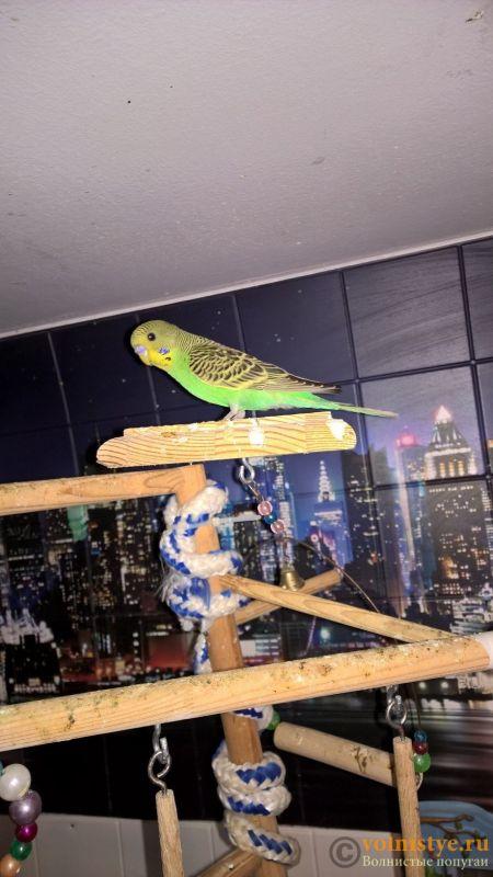 Волнистые попугаи от 2.5 мес Мытищи-Медведково - WP_20180702_16_34_34_Pro.jpg