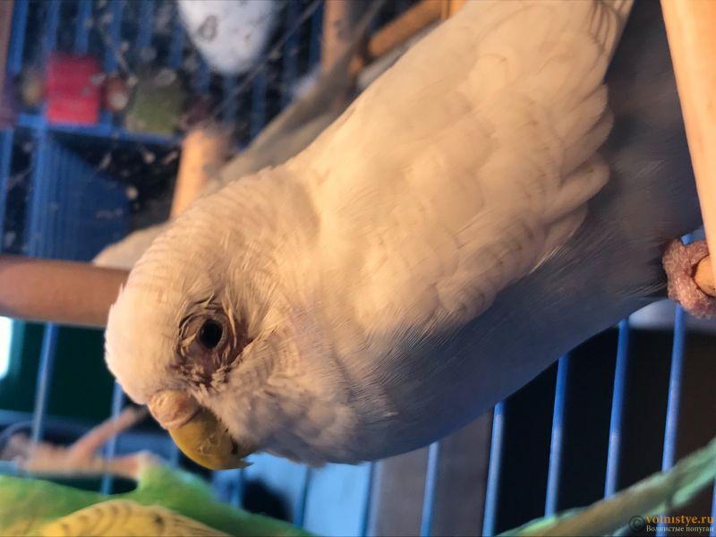 У попугая облезло оперение вокруг глаз - 3DF68D7F-AE6F-4D9F-8FBB-94A1B2C74D3D.jpeg
