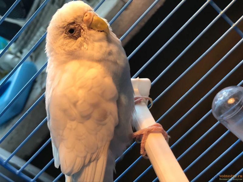 У попугая облезло оперение вокруг глаз - 33F66D59-96BE-4AD9-8287-AB29DA760824.jpeg