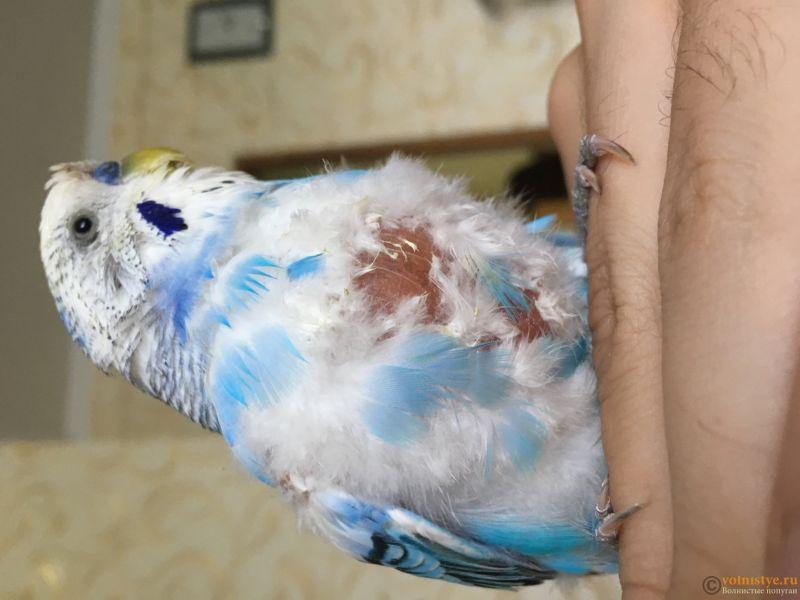 заболел любимый попугайчик - 3340C8B9-E59E-4BD4-BCF8-7555048E020C.jpeg