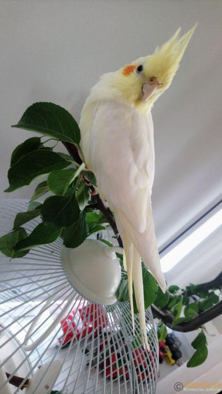 Определение пола и возраста попугаев корелла - _20180523_161110.JPG