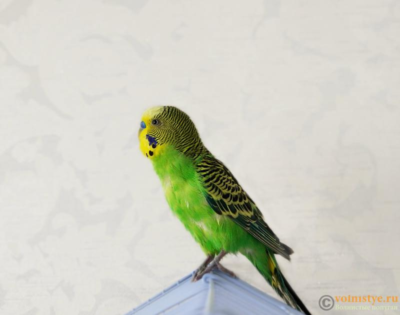 Создание пары волнистых попугаев - №2 - Кеша.png