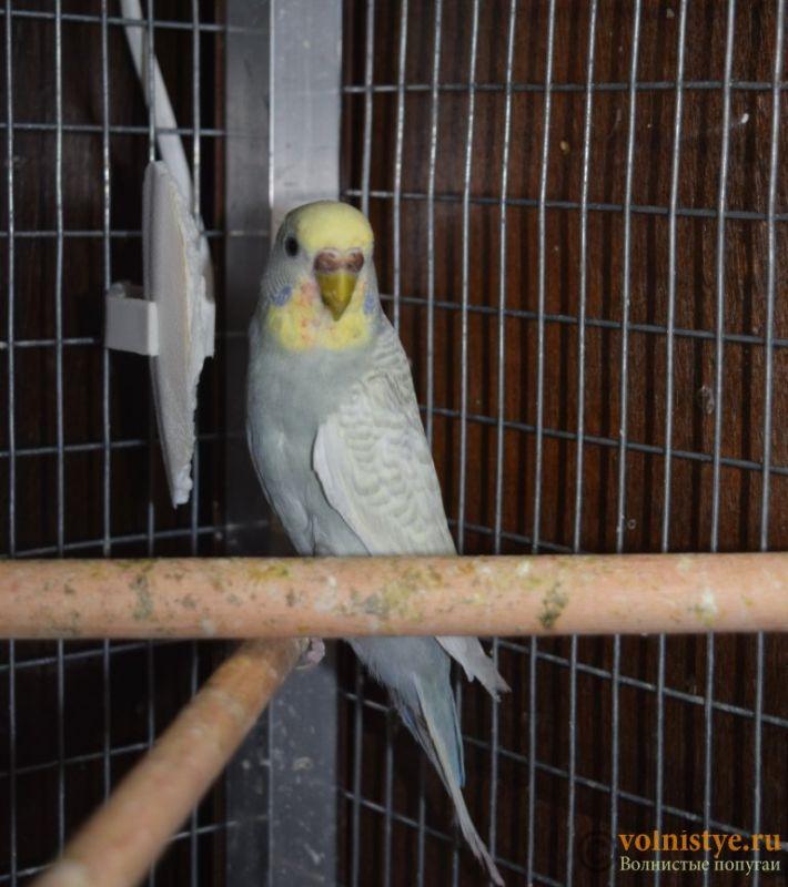 Птенцы-самцы домашнего разведения, Москва ЮЗАО - DSC_6554.JPG