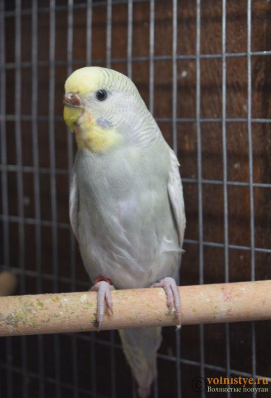 Птенцы-самцы домашнего разведения, Москва ЮЗАО - DSC_6560.JPG