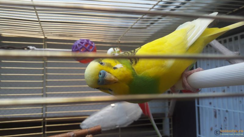 Помогите понять что с попугаем - 1533565671948167008809.jpg