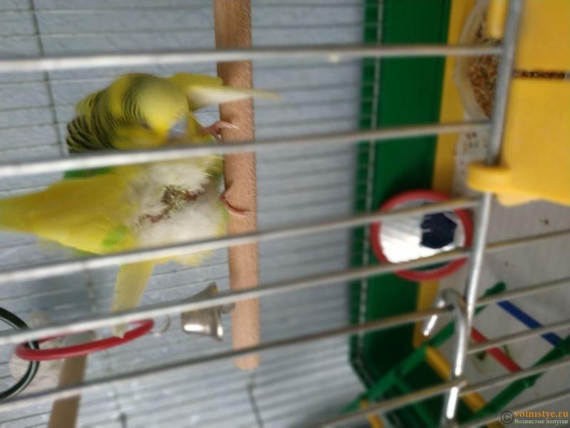нужна очень консультация орнитолога, заболел попугай. - 15336282417938605546761436537299.jpg