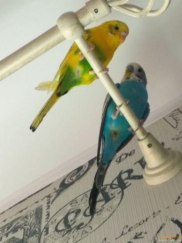 жёлтая-девочка, синий-мальчик, сейчас сфотографировать лапки не могу, ибо птички летают по комнате, позже прикреплю фотографию - IMG_20180810_124136.jpg