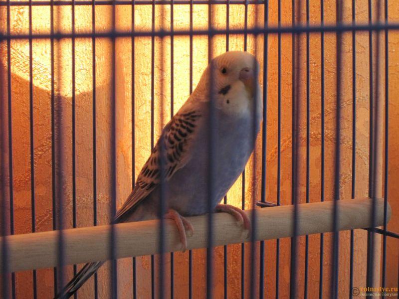 Помогите понять что с попугаем - IMG_2649.JPG