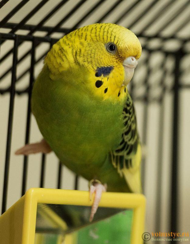 Помогите определить здоров ли попугай? - Parrot.jpg