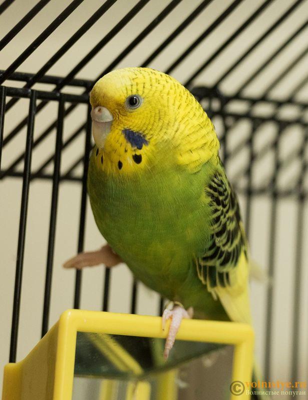 Помогите определить здоров ли попугай? - Parrot2.jpg