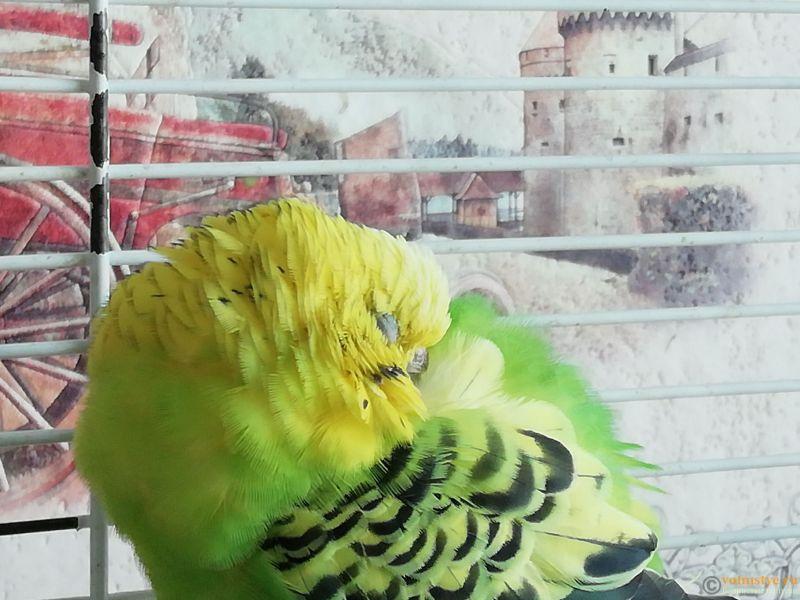 Попугай не активный и нахохленный - IMG_20180829_131447.jpg
