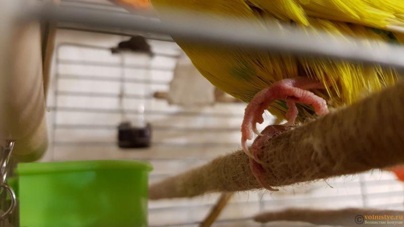 Проблемы с лапками у попугая (лапки плохо слушаются, пальчики подгибаются вовнутрь) - 20180829_200716.jpg
