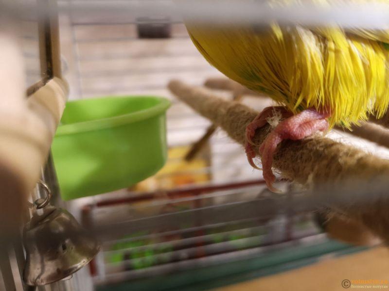 Проблемы с лапками у попугая (лапки плохо слушаются, пальчики подгибаются вовнутрь) - IMG_20180829_200322.jpg