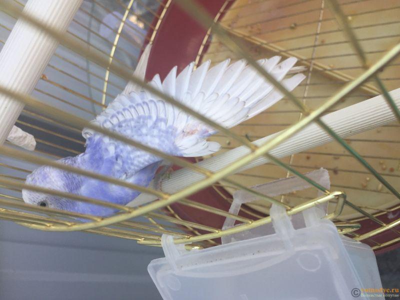 Волнистый молодой попугай странно чешется - image.jpg