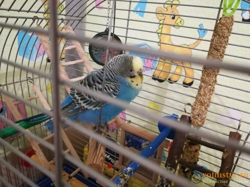 Помогите определить здоров ли попугай? - 3.jpg