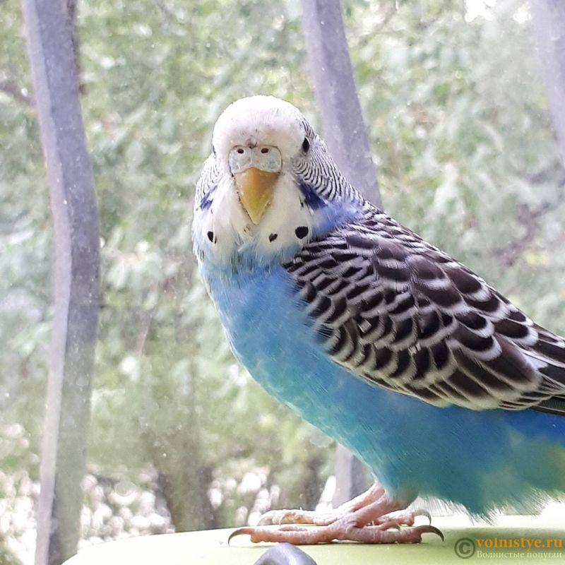 Определение пола и возраста попугаев № 11 - 20180906_171602(0).jpg