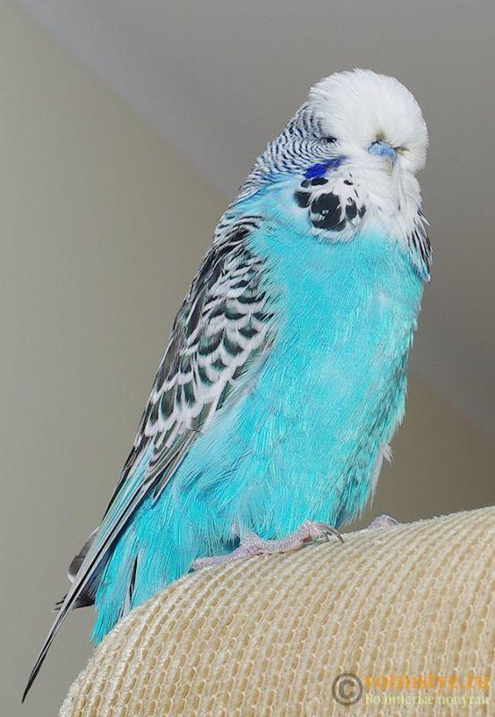 Какого окраса ваши попугаи и какого у них получились птенцы? - IMGP9904.jpg