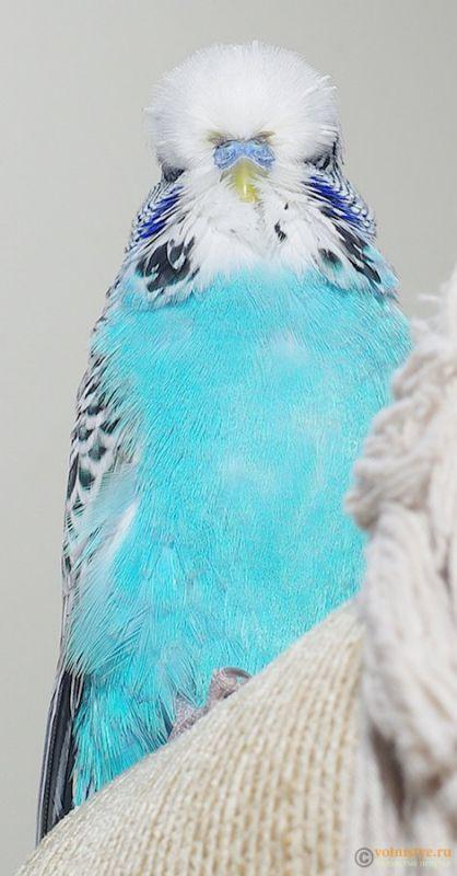 Какого окраса ваши попугаи и какого у них получились птенцы? - IMGP9905.jpg
