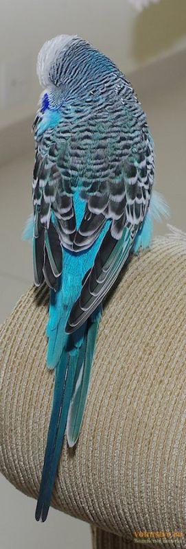 Какого окраса ваши попугаи и какого у них получились птенцы? - IMGP9907.jpg