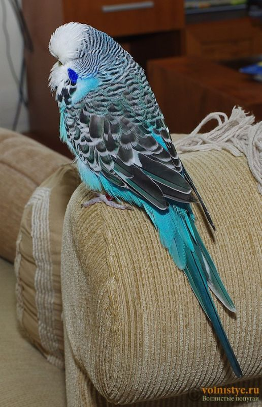 Какого окраса ваши попугаи и какого у них получились птенцы? - IMGP9910.jpg
