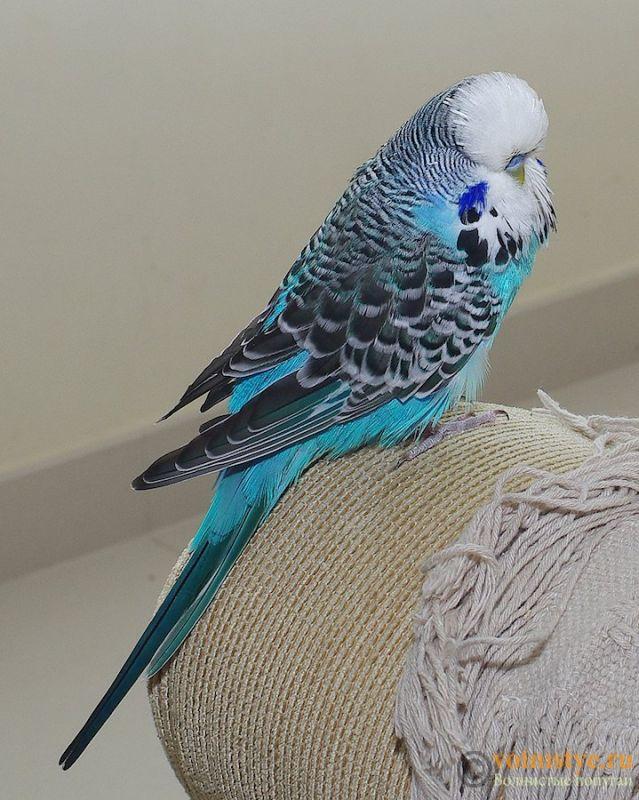 Какого окраса ваши попугаи и какого у них получились птенцы? - IMGP9912.jpg