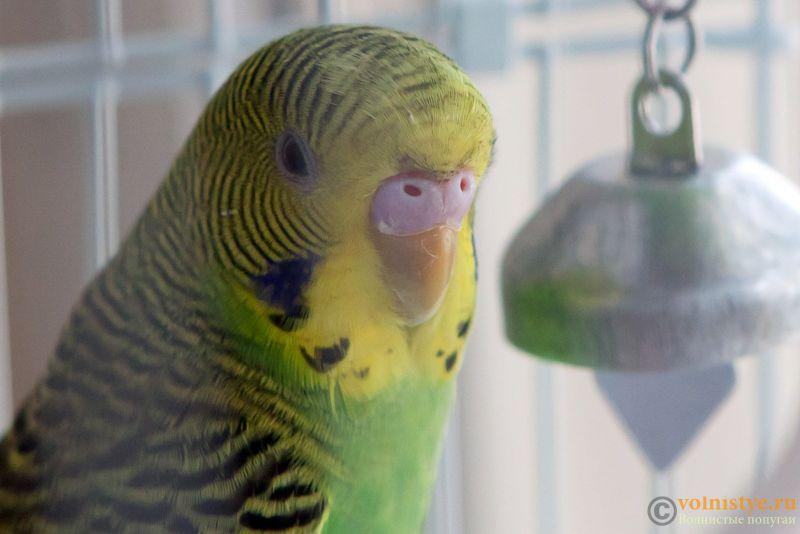 Определение пола и возраста попугаев № 11 - Photo-003.jpg