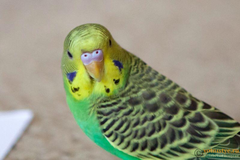 Определение пола и возраста попугаев № 11 - Photo-004.jpg