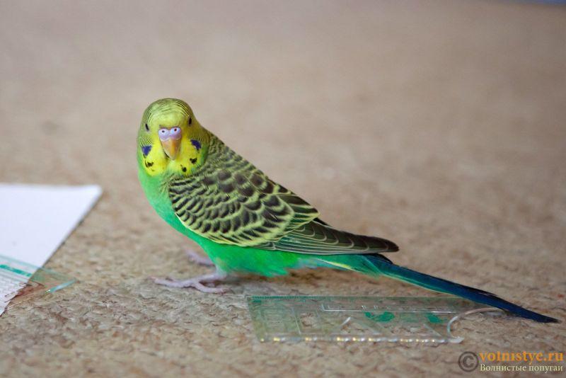 Определение пола и возраста попугаев № 11 - Photo-005.jpg