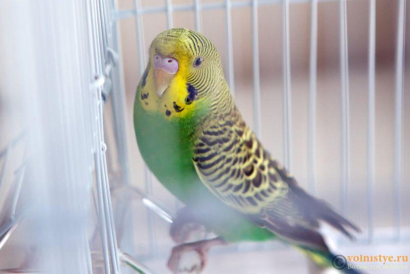 Определение пола и возраста попугаев № 11 - Photo-0022.jpg
