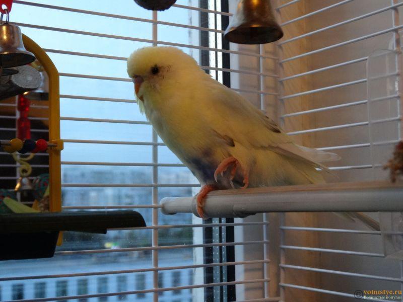 Проблема с левой лапкой у попугая - DSC07073.JPG