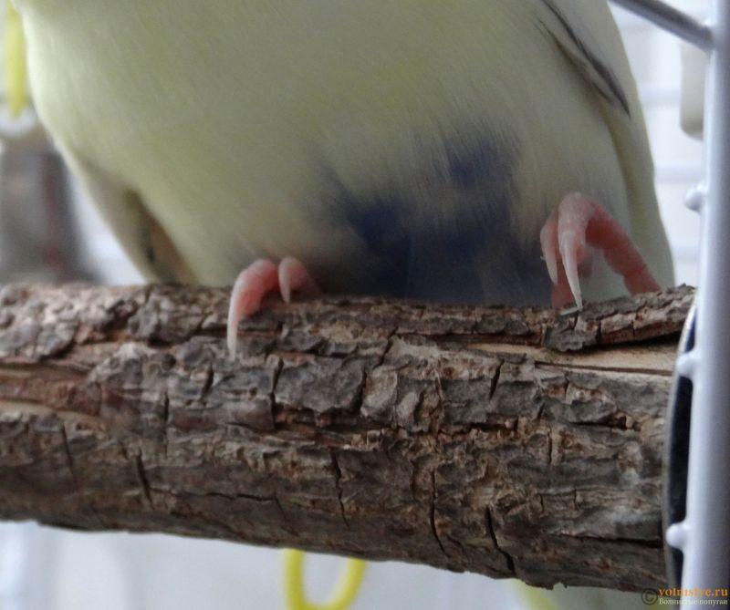 Проблема с левой лапкой у попугая - DSC07082.JPG