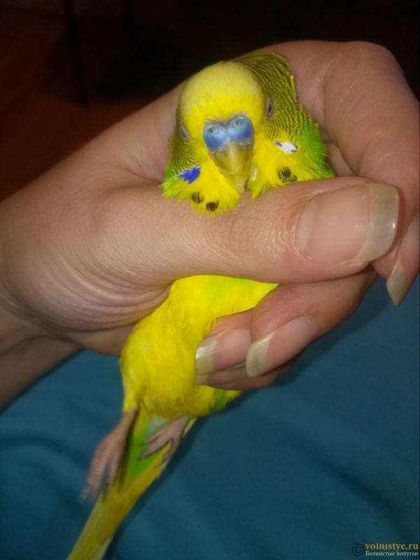 Заболевание лапок у волнистых попугаев. - P80914-000348.jpg