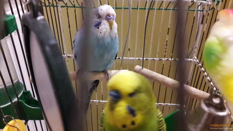 Определение пола и возраста попугаев № 11 - 20180914_234218.jpg