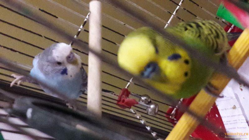 Определение пола и возраста попугаев № 11 - 20180914_234055.jpg