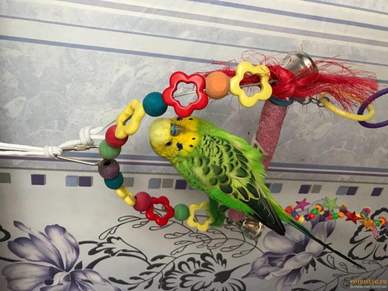 Фотографии  для статьи  окрасы волнистых попугаев - 530CCC23-DF31-4C2E-B89E-7D174BFF0347.jpeg