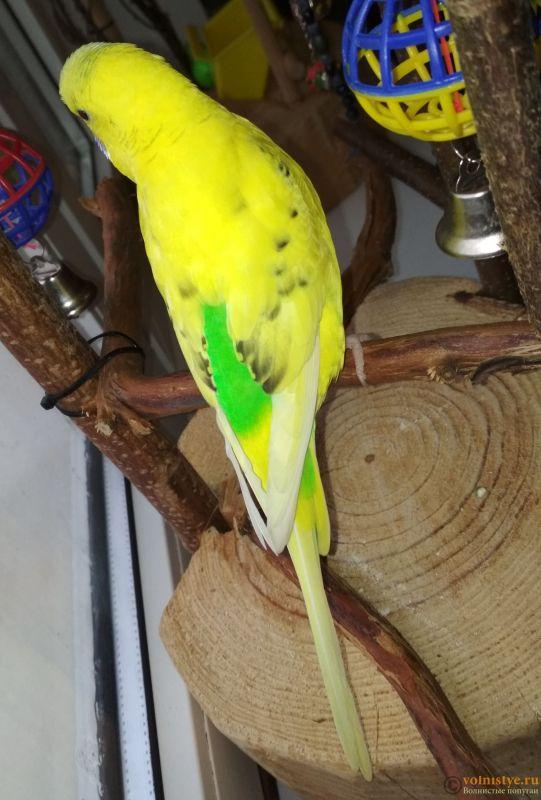 Фотографии  для статьи  окрасы волнистых попугаев - IMG_20180916_122851.jpg