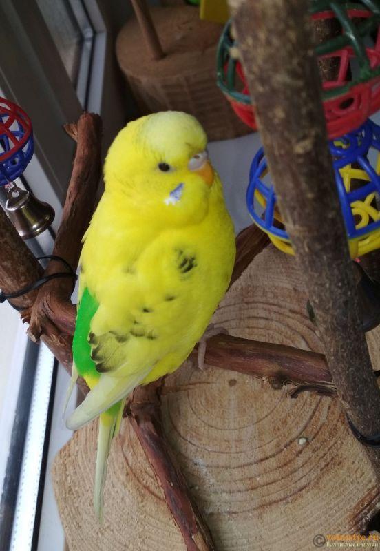 Фотографии  для статьи  окрасы волнистых попугаев - IMG_20180916_122805.jpg