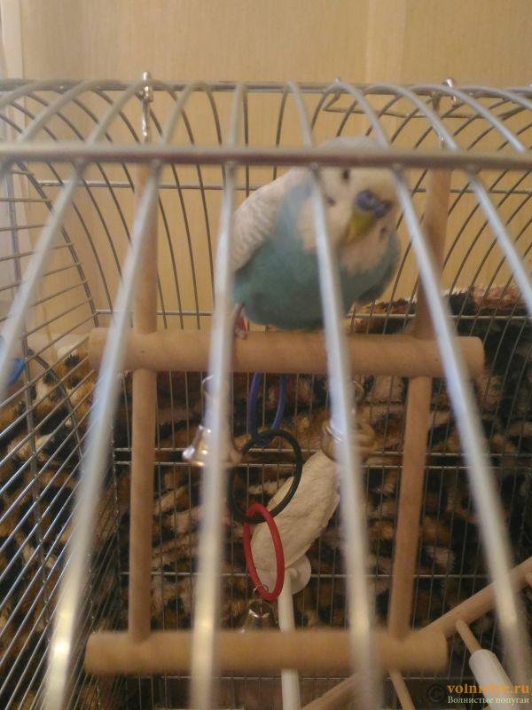 Наступили на попугая, теперь не летает,хромает на одну лапку - P_20180917_130908.jpg