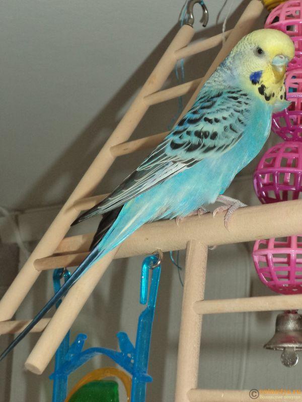 Фотографии  для статьи  окрасы волнистых попугаев - DSC00095.JPG