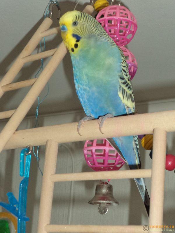 Фотографии  для статьи  окрасы волнистых попугаев - DSC00090.JPG