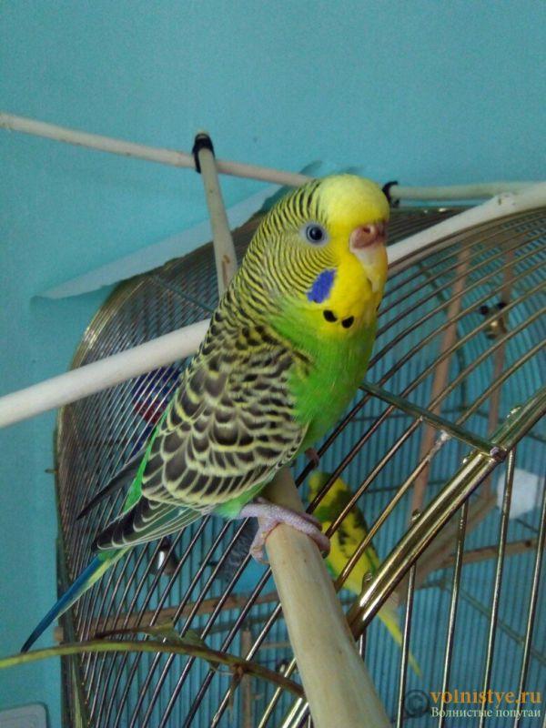 Фотографии  для статьи  окрасы волнистых попугаев - LP9CR3ItGMc.jpg